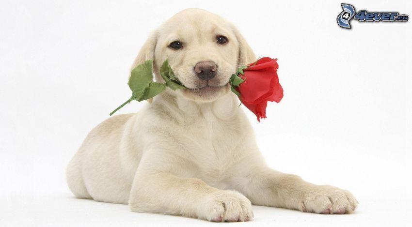 dog, red rose