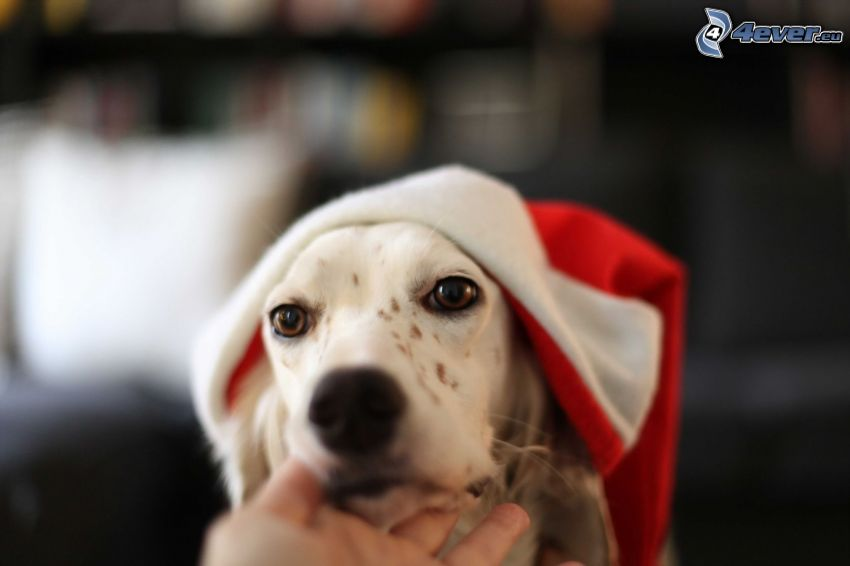 dog, Santa Claus hat