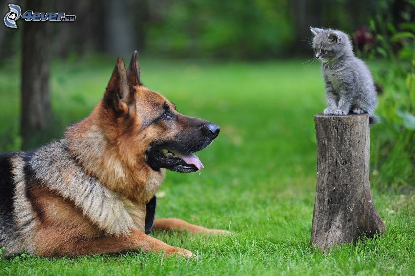dog and cat, alsatian, gray kitten, stump