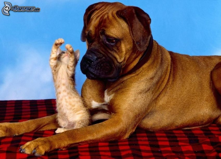 dog and cat, Boxer, kitten