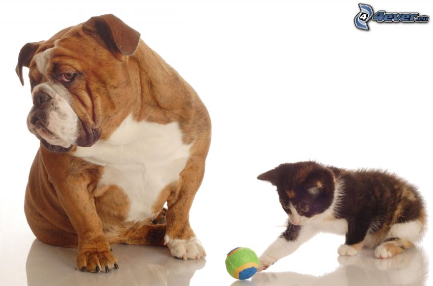 dog and cat, English bulldog, kitten, ball
