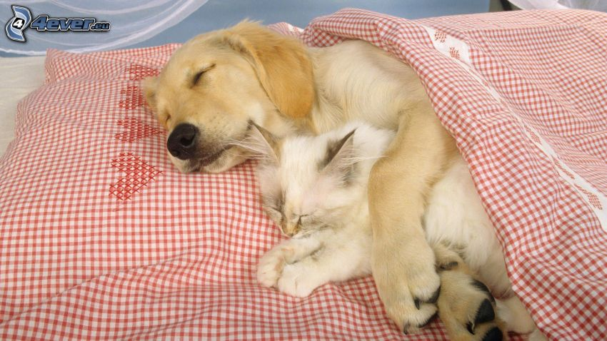 dog and cat, sleep, pillow, featherbed