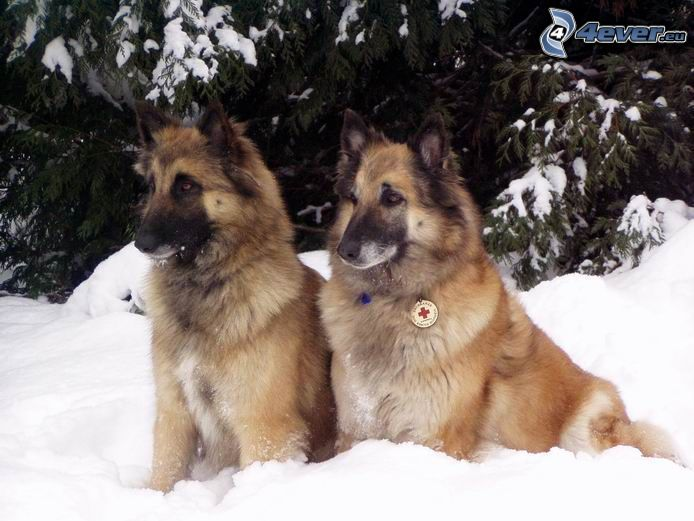 dog family, alsatian in snow, paramedic