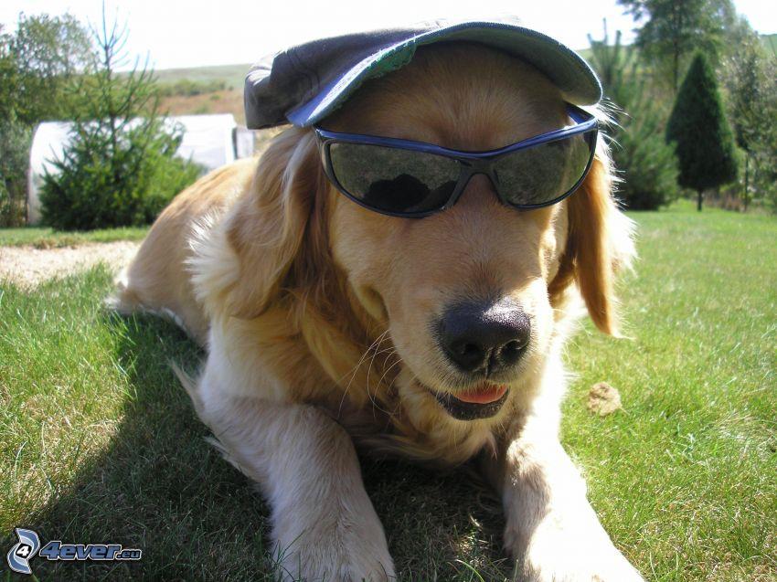 dog in glasses, cap, golden retriever