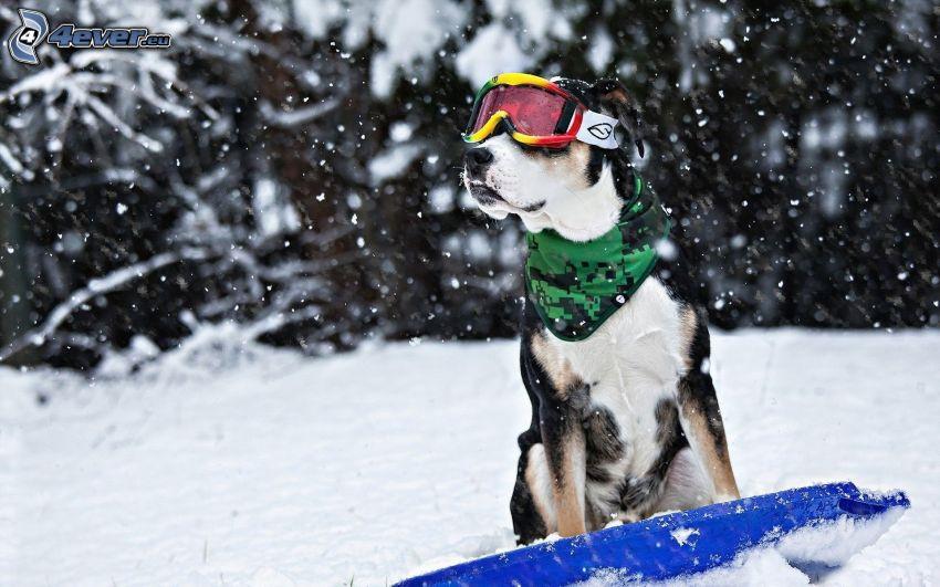 dog in glasses, snow