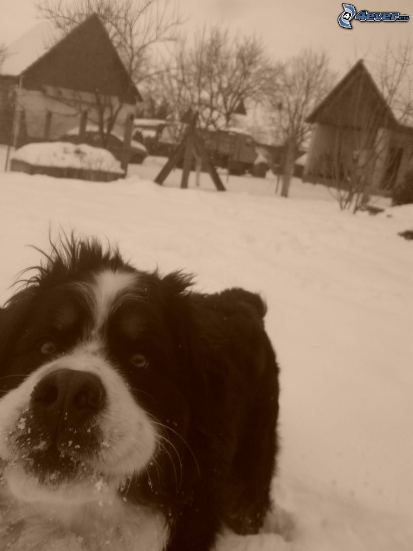 dog on the snow, winter, cottage, sepia