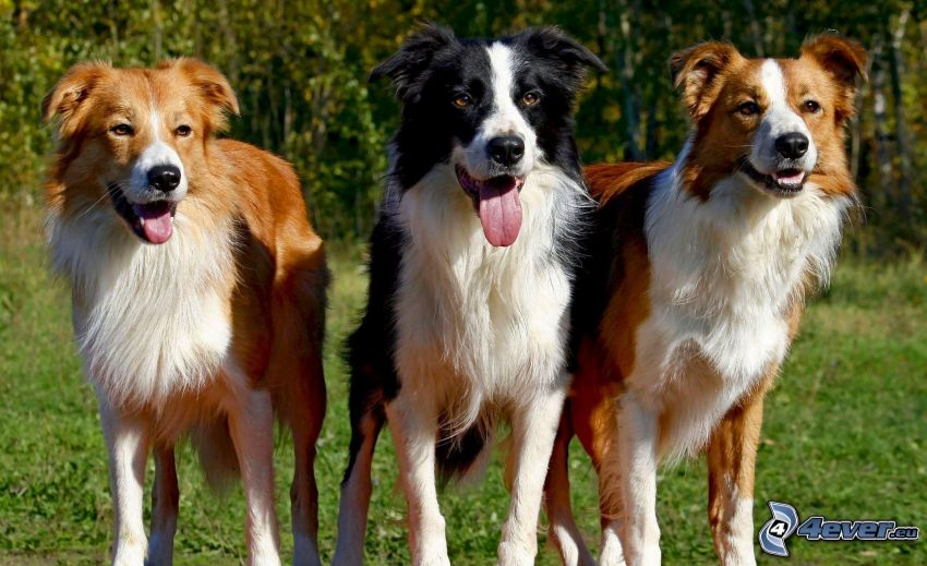 dogs, Border Collie