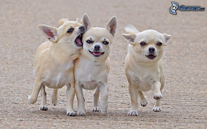 dogs, Chihuahua