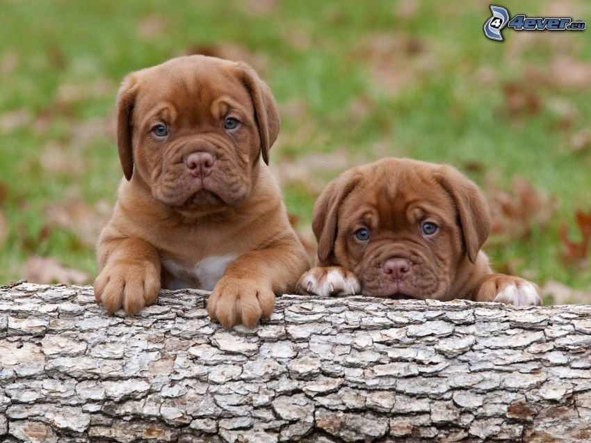Dogue de Bordeaux, puppies