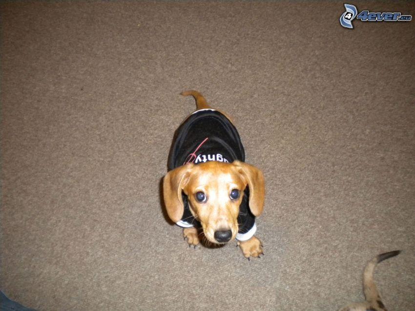 dressed dachshund, puppy