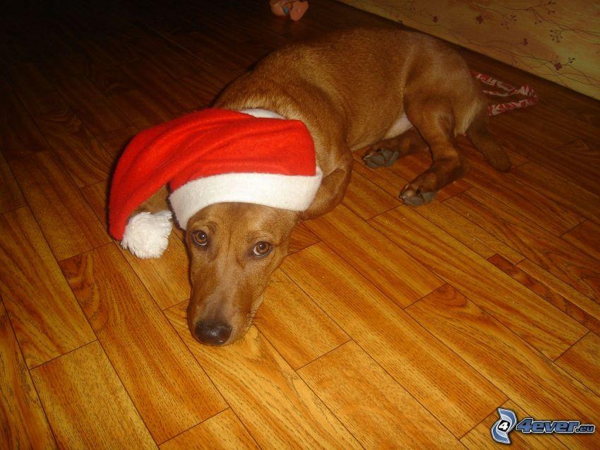 dressed dachshund, Santa Claus hat, Santa Claus