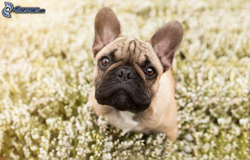 English bulldog, puppy, meadow
