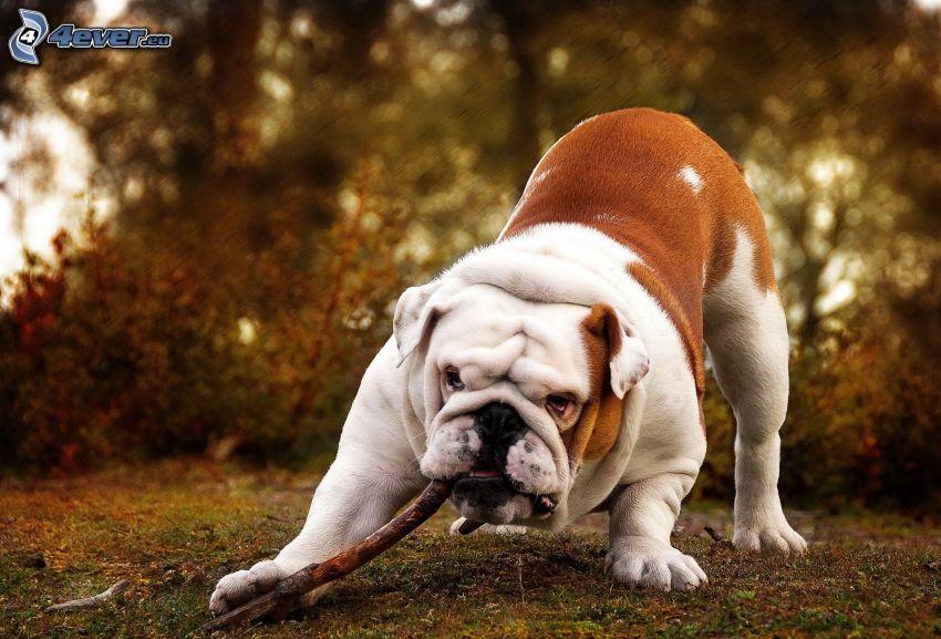 English bulldog, sticks