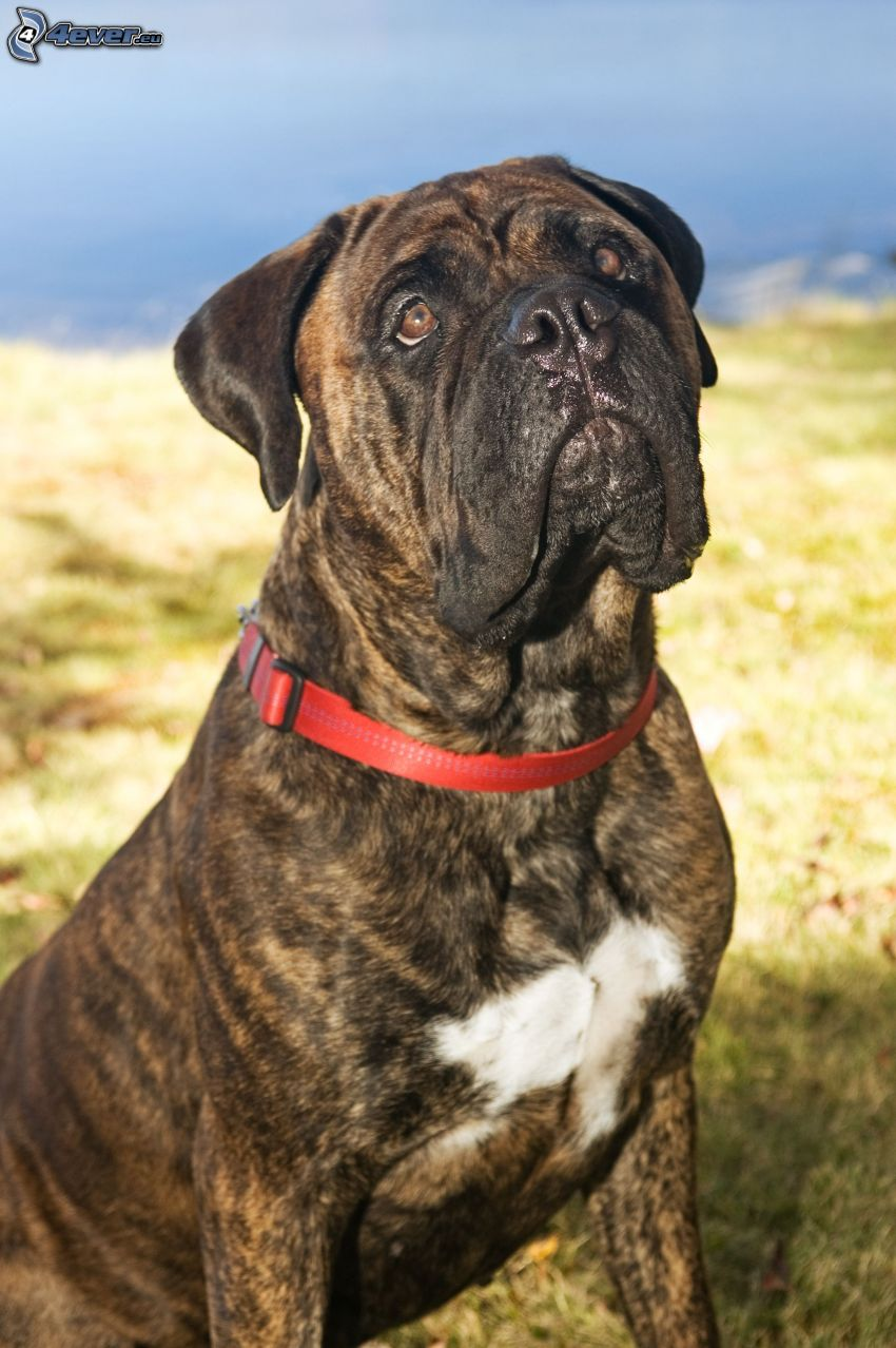 English mastiff, dog look