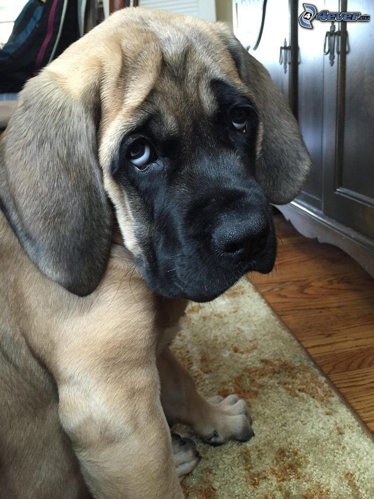 English mastiff, puppy, dog look