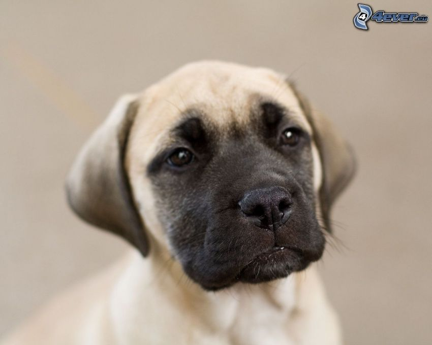 English mastiff, puppy