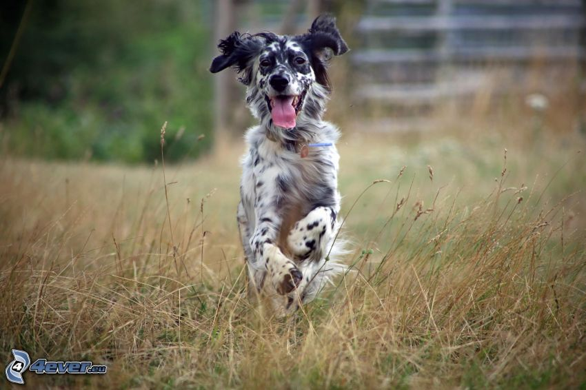 English setter, put out the tongue, running
