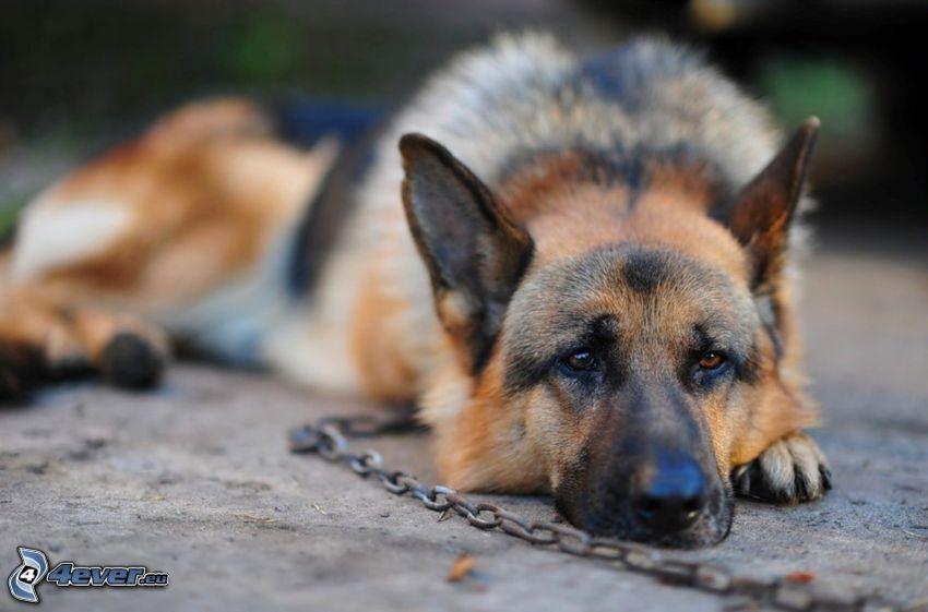 german shepherd, chain