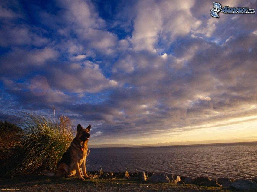 german shepherd, the view of the sea, clouds