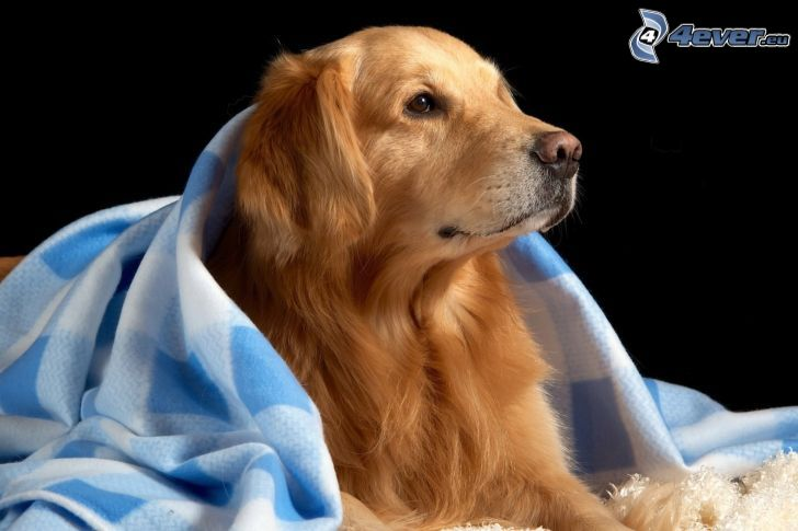 golden retriever, blanket