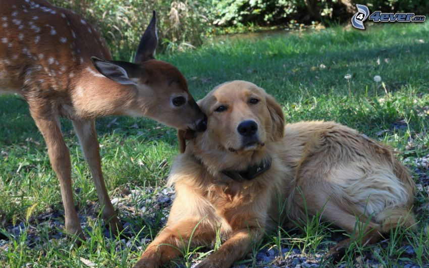 golden retriever, cub deer