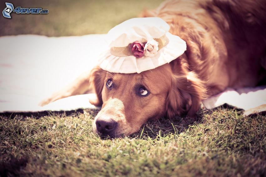 golden retriever, hat, dog look