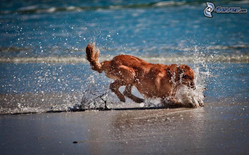 golden retriever, hunting, water