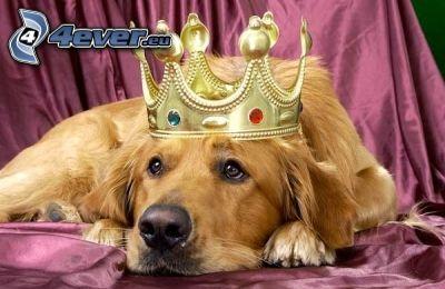 golden retriever, king, crown, boredom