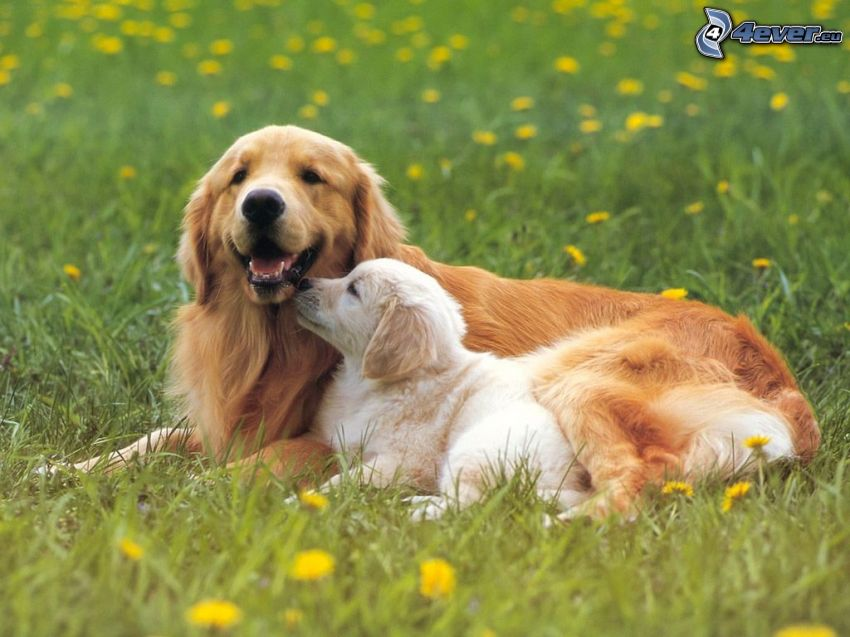 golden retriever, meadow, dandelion