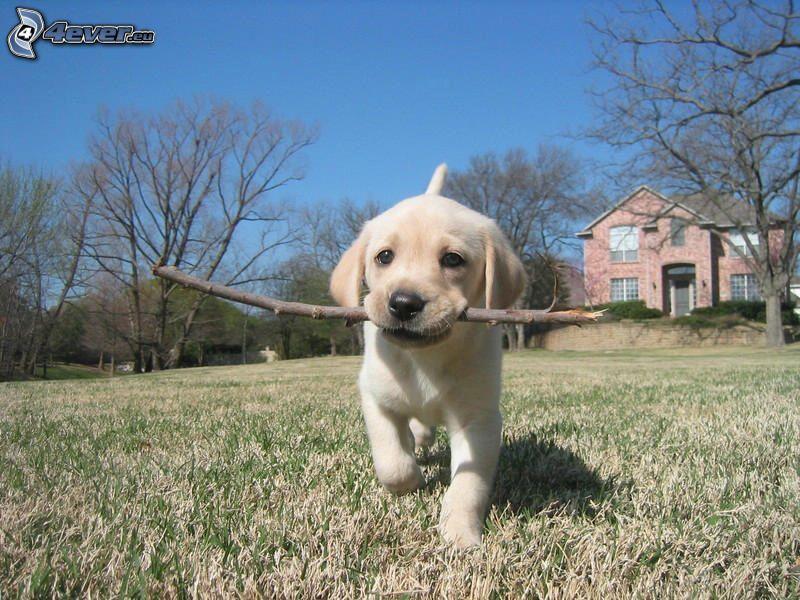 golden retriever, puppy, bough, meadow, house