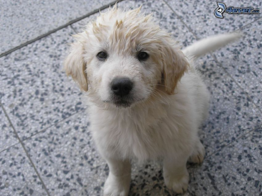 golden retriever, puppy, dog