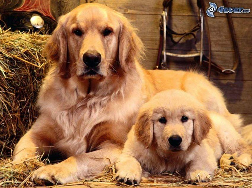 golden retriever, puppy, family