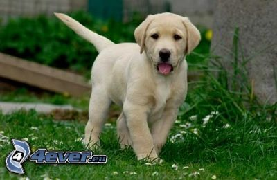 golden retriever, puppy