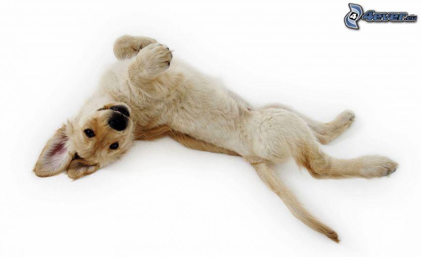 golden retriever, puppy