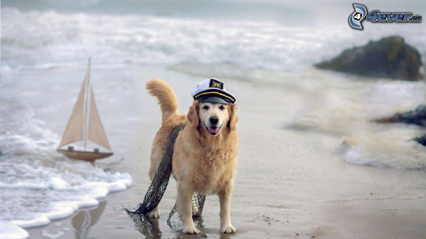 golden retriever, sandy beach, boat at sea