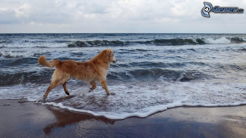 golden retriever, sea