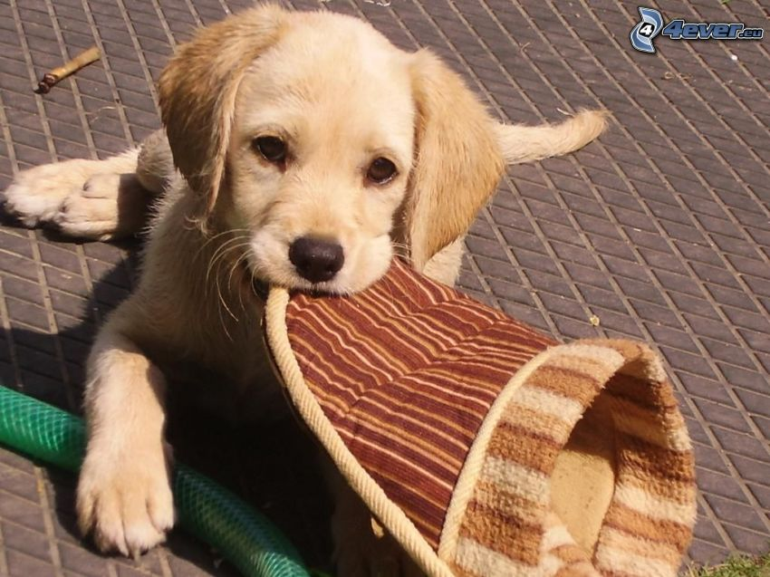 golden retriever, slippers, puppy