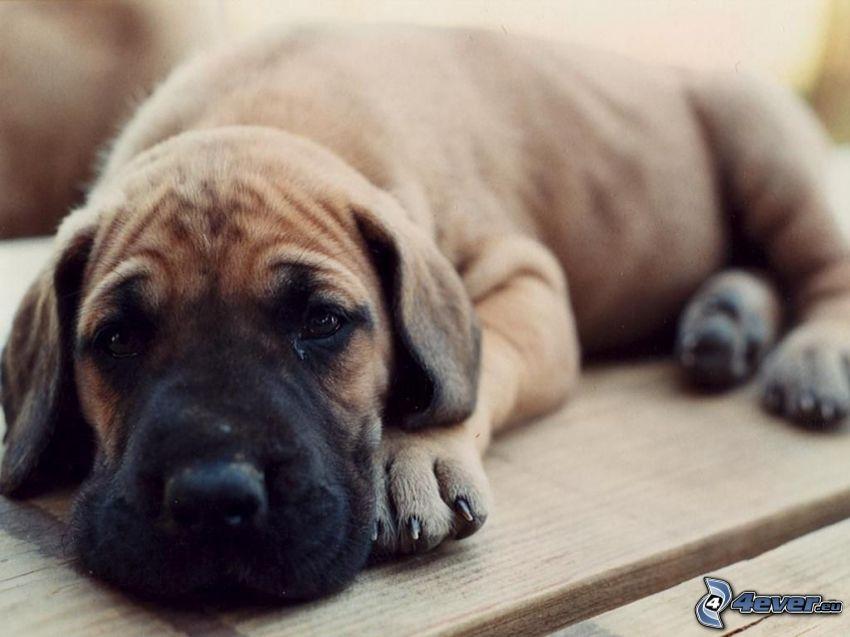 Great Dane, puppy