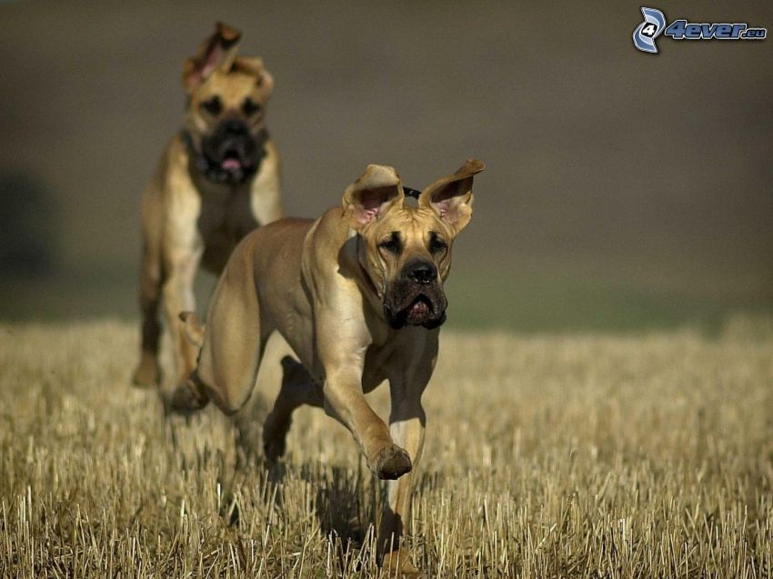 Great Dane, running, field