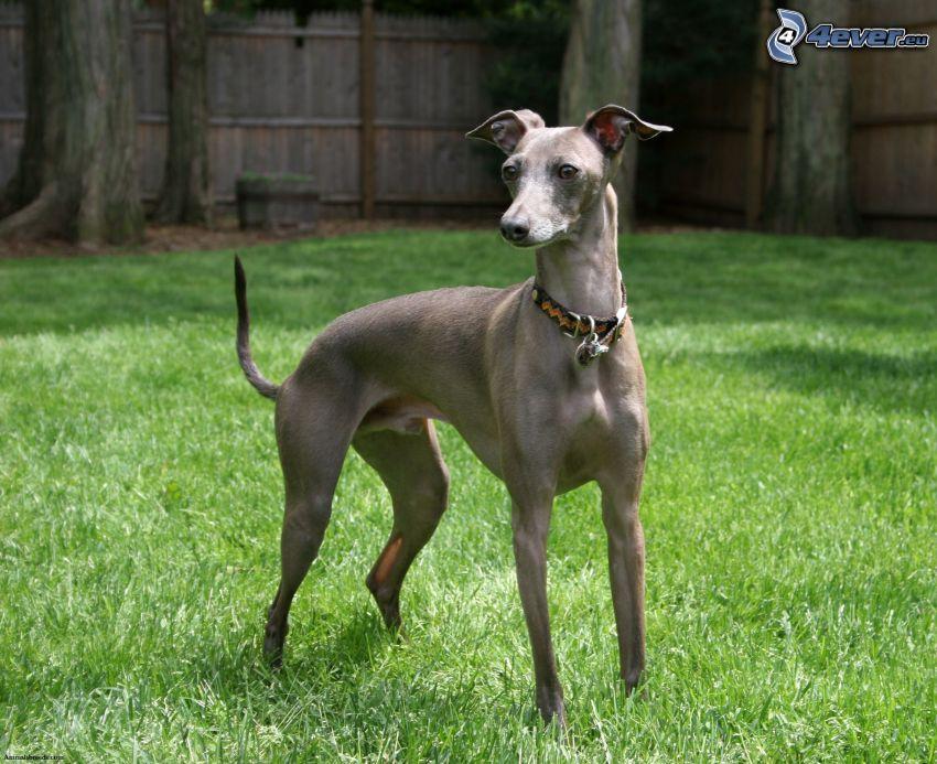 greyhound, lawn
