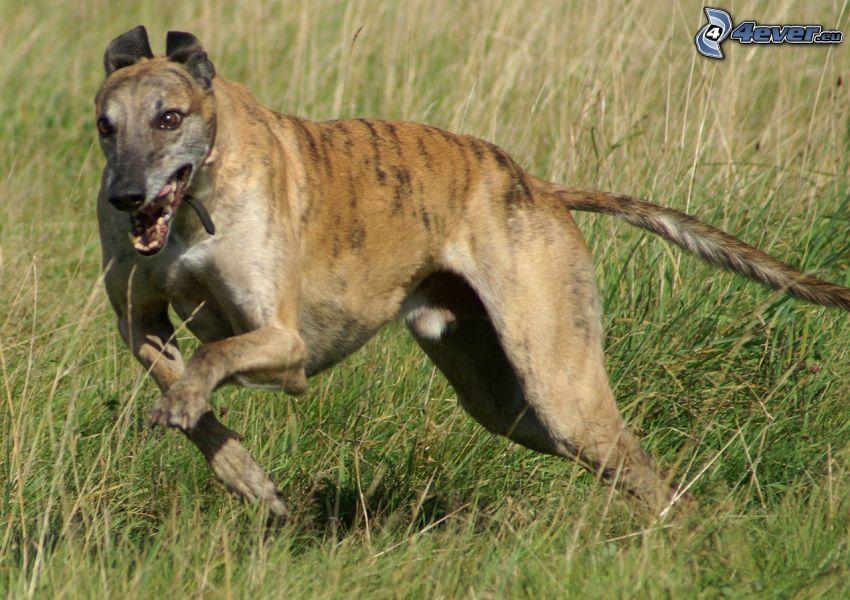 greyhound, running, field