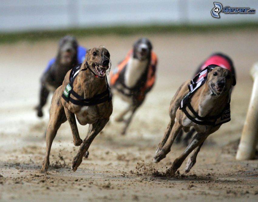greyhound, running, race