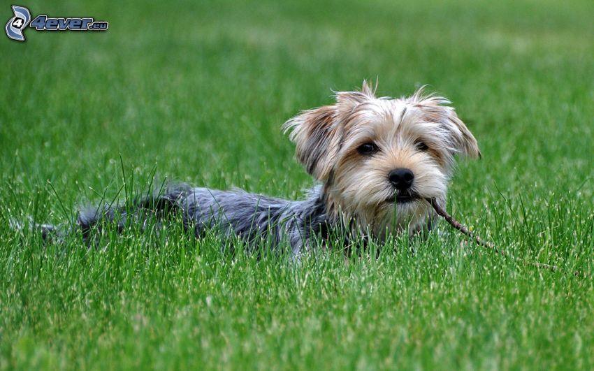 Hairy Yorkshire Terrier, sticks, grass