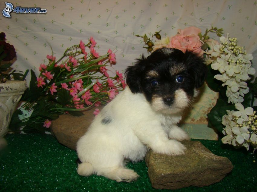 havanese, puppy, flowers