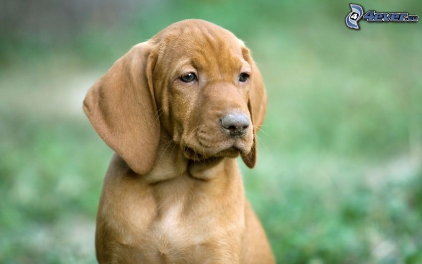 Hungarian Vizsla, puppy