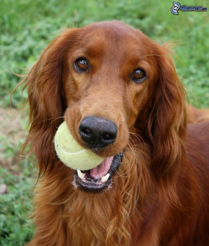 Irish Setter, tennis ball