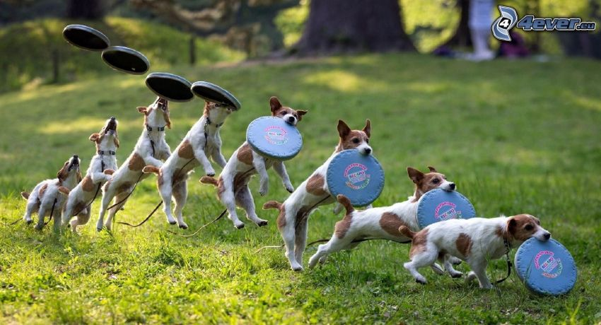 Jack Russell Terrier, flying saucer, jump