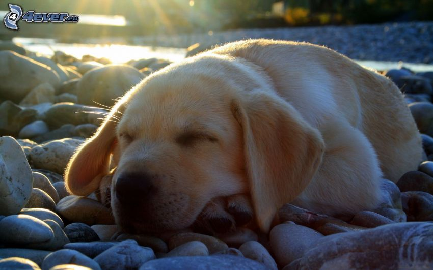 Labrador, sleeping dog, puppy, rocks