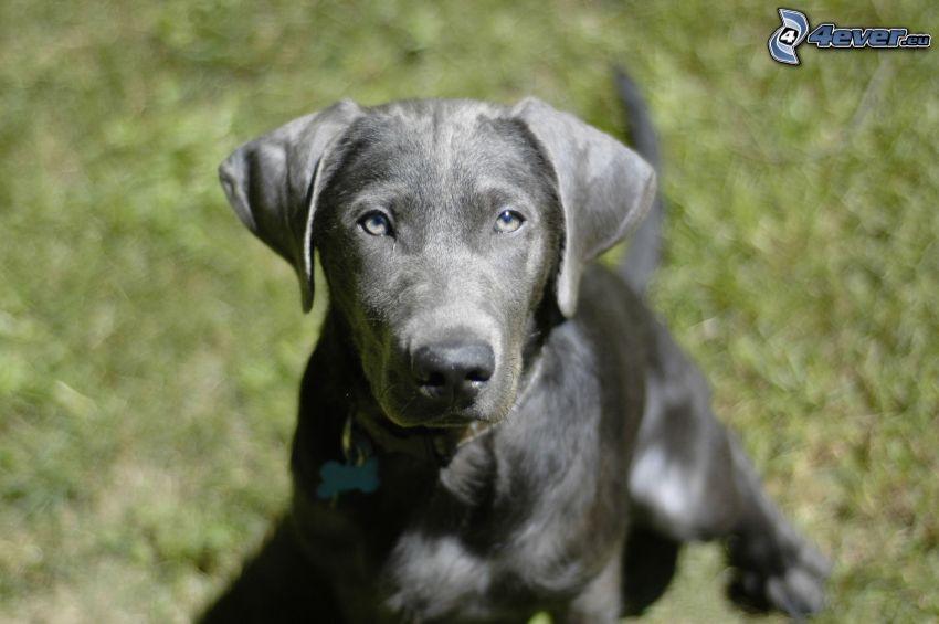 labrador retriever, puppy