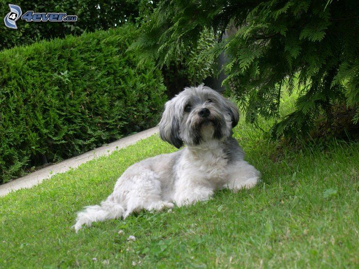 Maltese, dog on the grass, bush